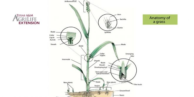 anatomy of grass